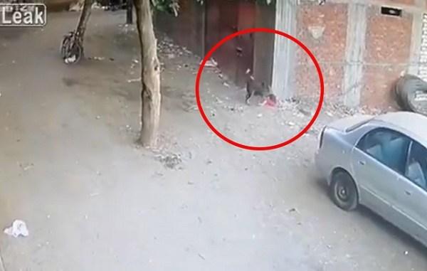 Gato defiende a niño de ataque de perro #VIDEO