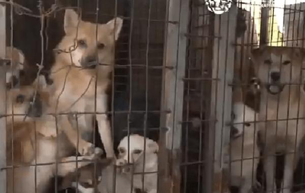 Rescatan a casi 200 perros de granja de carne en Corea del Sur #VIDEO