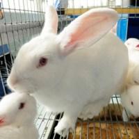 Emergencia de sanidad en nueve estados por enfermedad en conejos