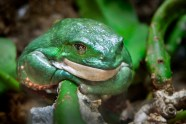 Mexican Giant Tree Frog