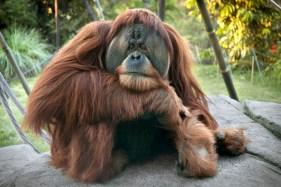 Satu, 17-year old male Sumatran Orangutan