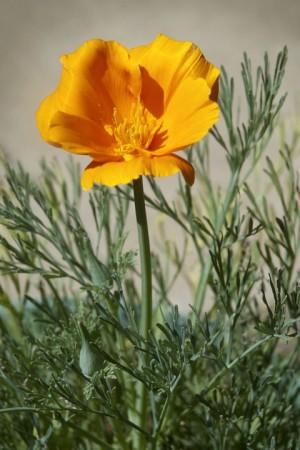 California Golden Poppy01 08-05-13 lo-res