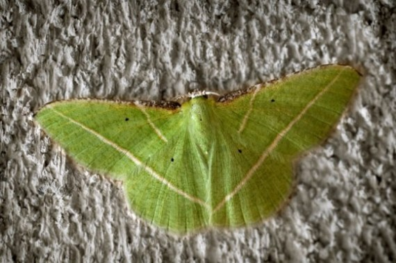 Emerald Geometer Moth 08-21-13 lo-res