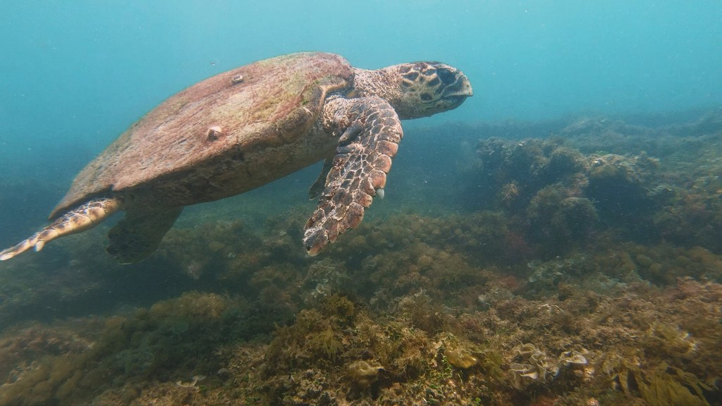 Turtle hanging out near the Boiler Wreck during a snorkel trip