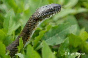 <strong><em>Snake in the Grass.</em> This close-up of a Northern Water Snake was shot on with a D70 and 70-200mm f/2.8 AF-S VR with attached 1.4x teleconverter, because I left my 105mm macro at home. It's better to leave with the shot even though you left the right equipment at home.</strong>