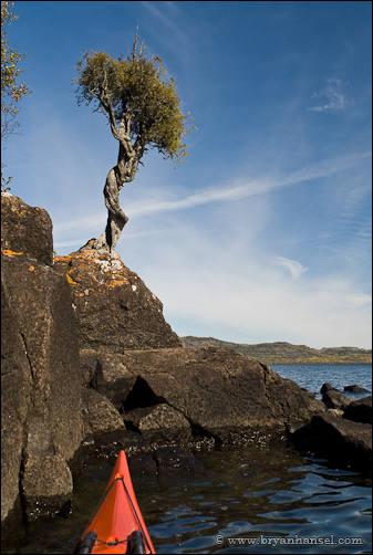 Witch Tree or Little Spirit Cedar Tree.