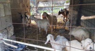 Caiazzo / Formicola – Animali in cattive condizioni, scatta il sequestro: denunciato allevatore