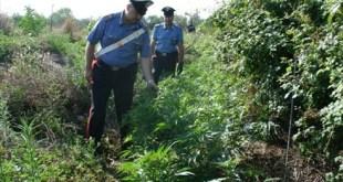 Sessa Aurunca / Cellole – Coltivazione di droga: 4 espulsi dalla provincia. C'è anche un ex poliziotto sessano. Tre denunciati a piede libero