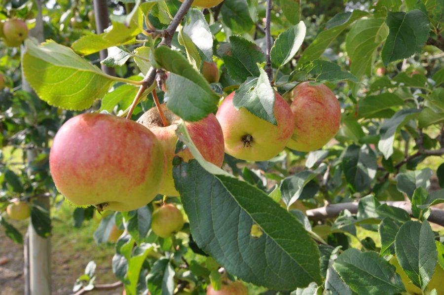 Fruktodling och musteri
