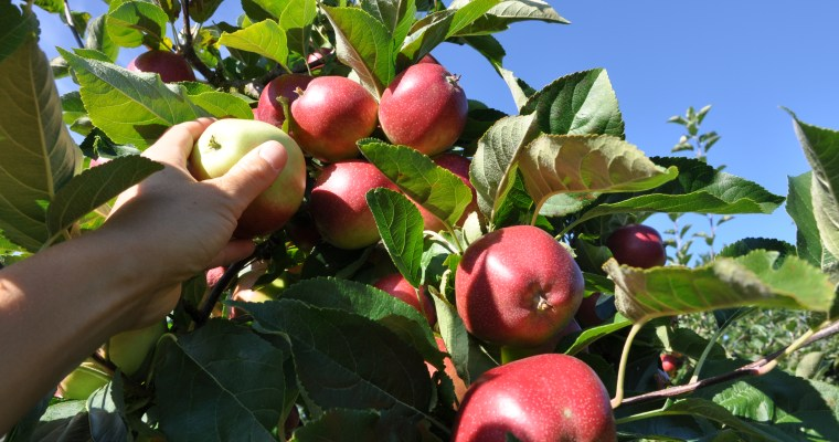 Nu är äpplena slut …