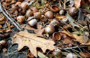 1280px-Acorns_falling_onto_the_ground