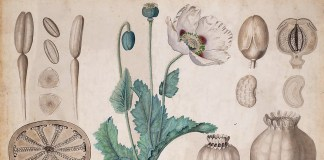 Opium poppy (Papaver somniferum) botanical drawing. University of Amsterdam (UVA 076 673), 20th century / Public domain