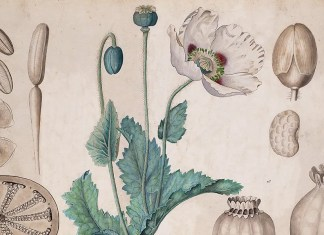 Opium poppy (Papaver somniferum) botanical drawing. University of Amsterdam (UVA 076 673), 20th century / Public domain