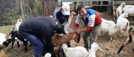 संखुवासभाका ७० हजार भेडाबाख्रालाई पिपिआर खोप, २ लाख १५ हजारभन्दा बढी पशुलाई खोप लगाइने