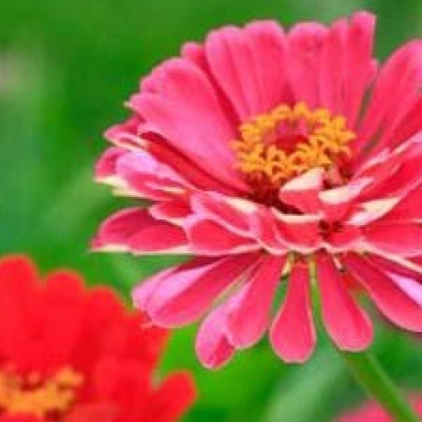 Zinnia-flowers-in-garden-jpg_20160430193757-159532