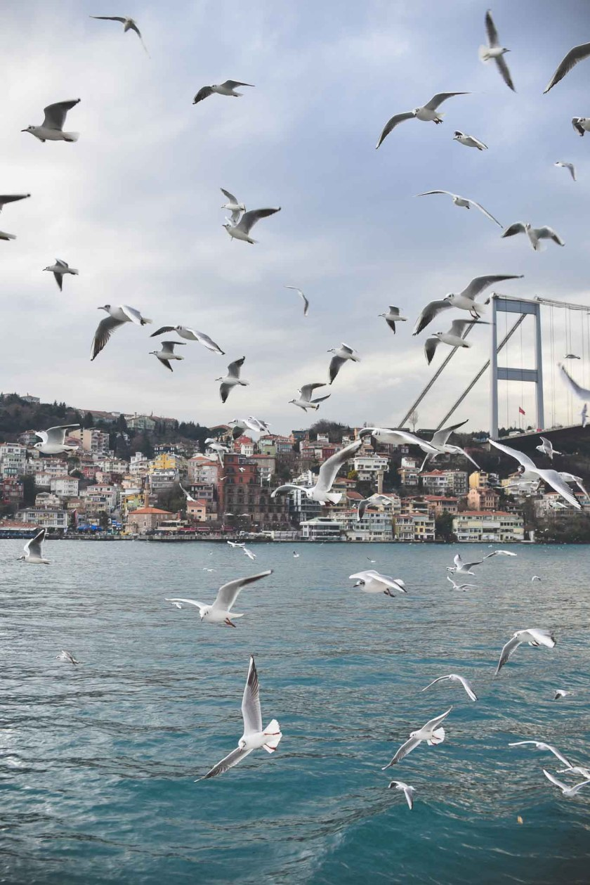 Many seagulls fly over the water of the Bosphorus strait in Istanbul, Turkey with color houses on the hill in the background. Destination photography by Paige Gribb