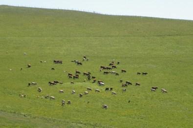 vache-cantal-auvergne