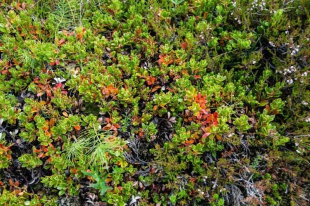 vegetazione tundra cosa fare in 10 giorni in Islanda