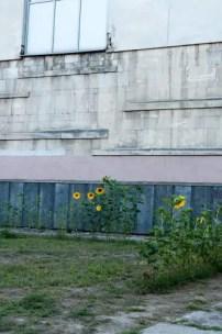 Girasoli nelle aiuole pubbliche, Lviv