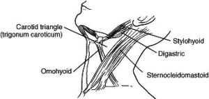 omohyoid muscle2