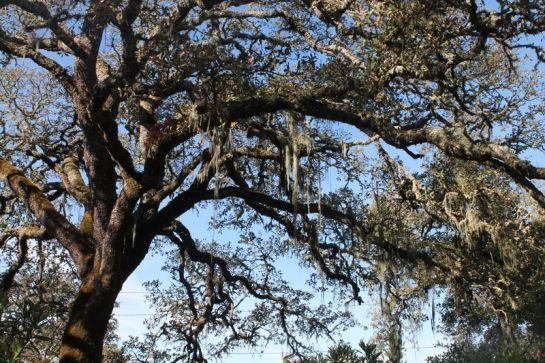 Moss on the Oak Trees