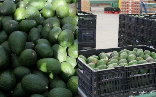Avocados from Bin to Conveyor Belt