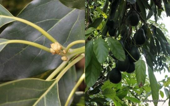 Avocado Buds and Fruit