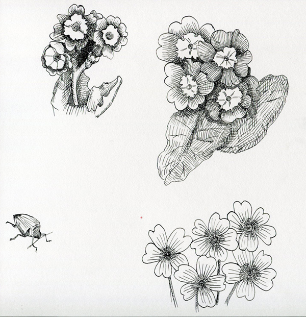 Primrose Drawing