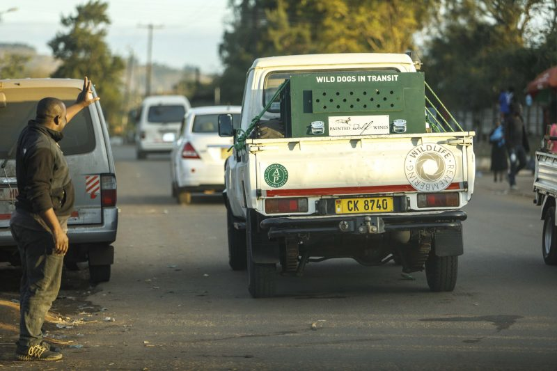 Wild dogs transported to Majete Wildlife Reserve for release, Malawi © Matt Moon