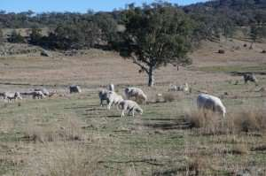 Sheep on Australian farm reference photo for watercolor painting