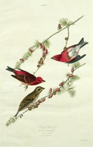 Audubon purple finch
