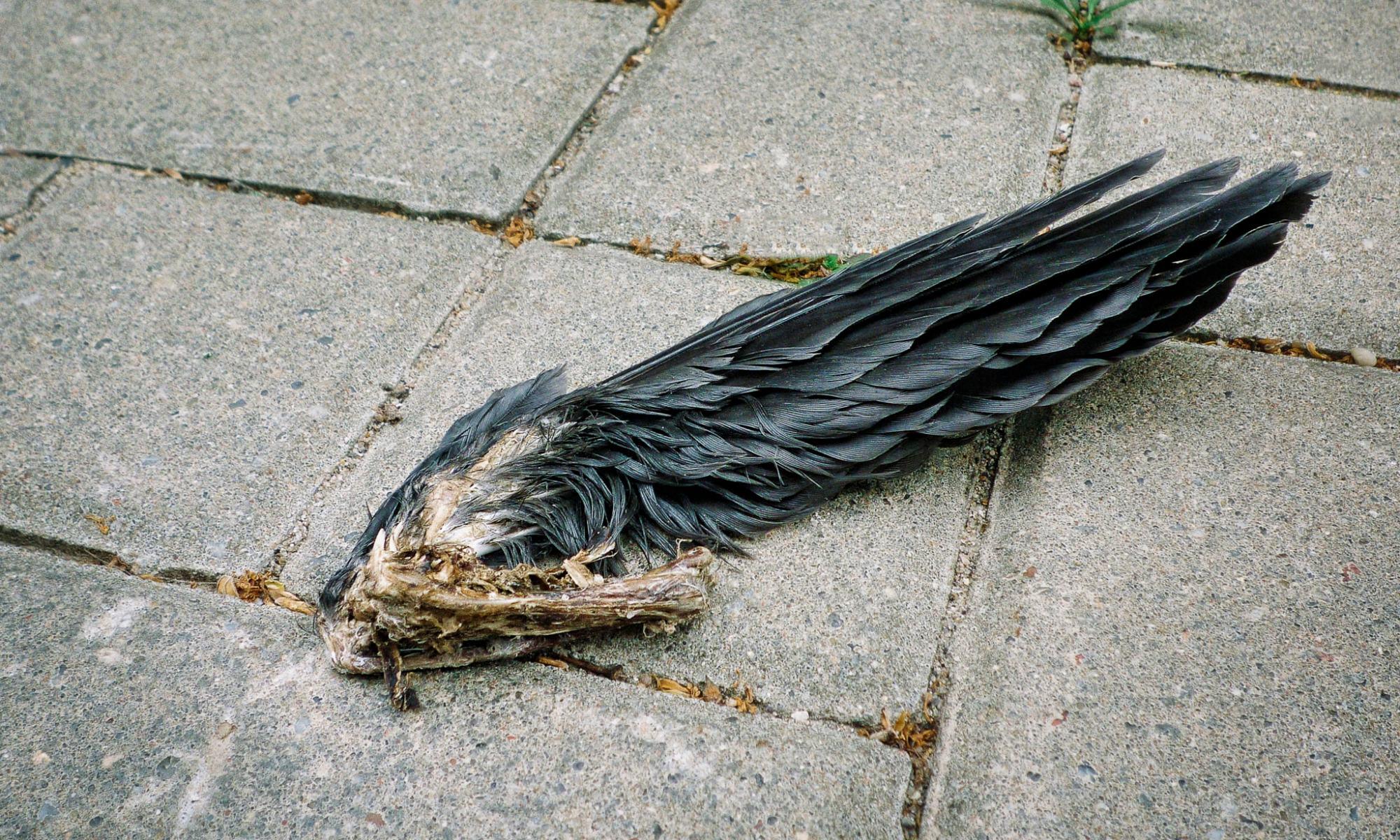 Czarne skrzydło