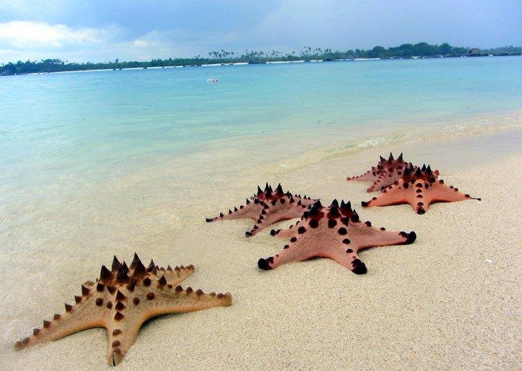 bintang laut di pulau pasir