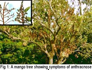 Mango diseases and their management