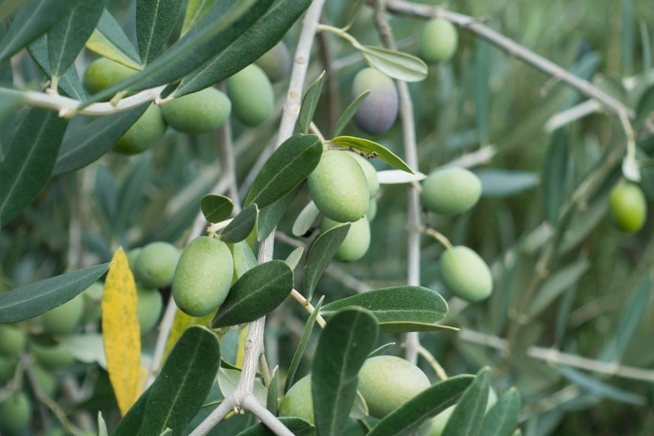 Scope of olive cultivation in Pakistan » Pakissan com
