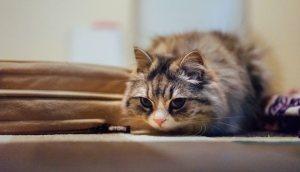 獲物を狙ってるメス猫(スコティッシュフォールド)