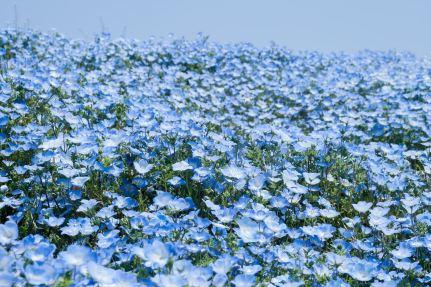「青い花の無料写真集」の画像検索結果