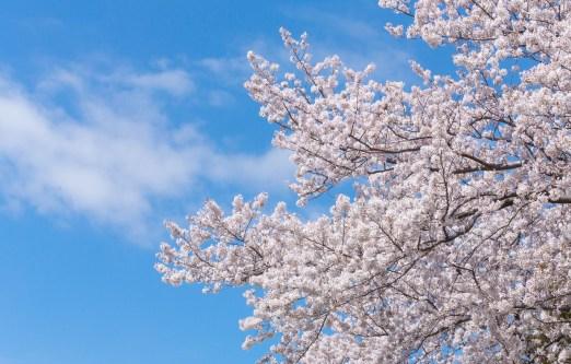 「空に伸びる桜」