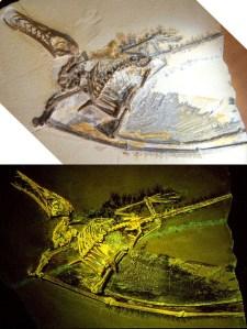 The 'dark wing' specimen of Rhamphorhynchus.
