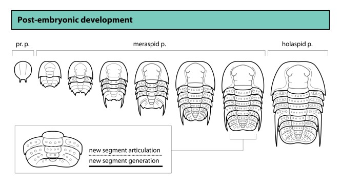 Patterns in Palaeontology: The development of trilobites