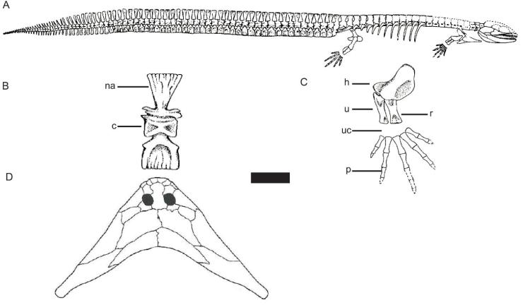 Figure 1 — A) The nectridean Urocordylus wandesfordii and B) associated tail vertebrae, showing the flattened neural and haemal arches and hourglass-shaped centrum. C) Forelimb showing a lack of a hard wrist bone. D) The skull of Diplocaulus. Abbreviations: c, centrum; h, humerus; ha, haemal arch; na, neural arch; p, phalanges; r, radius; u, ulna; uc, unossified carpals. Scale bar is 20 mm for A, 6 mm for B, 4 mm for C and 50 mm for D. Adapted from Carroll et al. 1998.