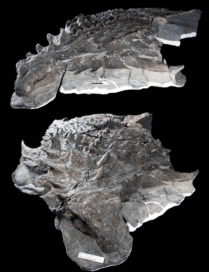 Figure 4 — The exceptionally well preserved fossil of Borealopelta markmitchelli (from Brown et al., 2017).