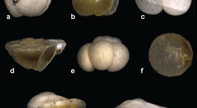 Fossil Focus: Planktonic Foraminifera – Small Fossils, Big Impacts