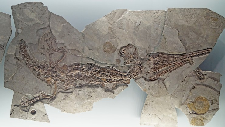 Figure 10 — Skeleton of Pelagosaurus typus, Lower Jurassic (early Toarcian, Posidonienschiefer Formation) of Dotternhausen (Germany) with a pathological lower jaw. Length ~ 2 m. On display at the Werksforum Dotternhausen in Dotternhausen (Germany). Credit: S. Sachs.
