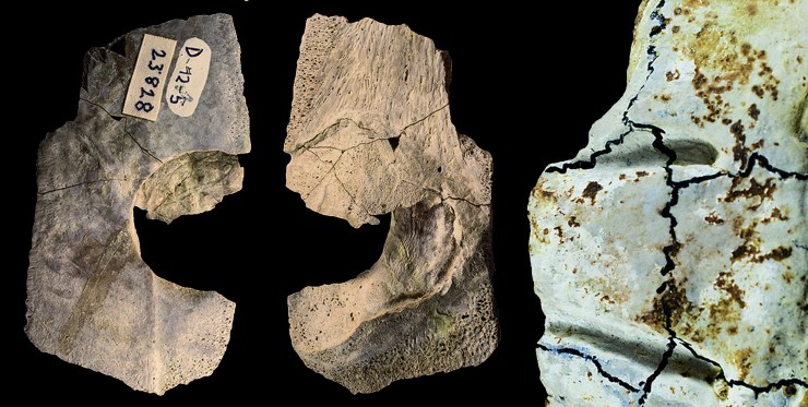 Figure 8 — Marine turtle shell fragments from the Solothurn Turtle Limestone of Switzerland (Upper Jurassic, late Kimmeridgian). Left and middle: Unidentified turtle shell with round Machimosaurus bite marks. Right: Grooves on a Plesiochelys carapace caused by the back teeth of Machimosaurus. Credit: S. Thüring.