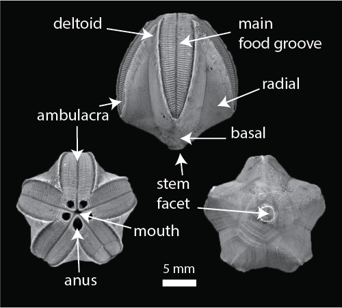 Figure 3 — Specific aspects of blastoid thecal morphology outlined on Pentremites godoni. Credit: J.W. Atwood.