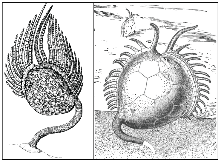 Figure 3 — Comparison of how two different paracrinoids are inferred to have lived. Left: Amygdalocystites florealis had a stem that raised the body of the animal off the sea floor. Modified from Guensburg (1984). Right: Platycystites had a small, short stem that was buried in the sediment. Modified from Parsley and Mintz (1975). Both images show the brachioles (arm-like structures) that aided feeding.