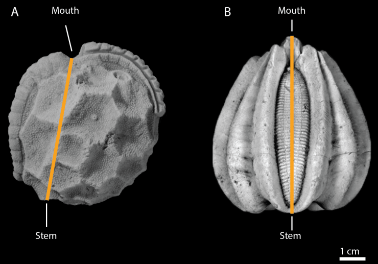 Figure 4 — Comparison of main body axes between a paracrinoid and a blastoid. A: The paracrinoid Sinclairocystis praedicta, with offset axis connecting the mouth to the stem, giving the body a distinct asymmetry. Credit: M. Limbeck. B: The blastoid Deltoblastus, with a perfectly straight axis connecting the mouth to the stem. Credit: W. Atwood.