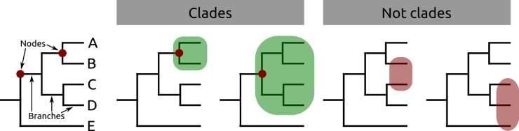 Figure 2 — An example of an evolutionary tree, or cladogram, comprising five species. Points at which splits occur are called nodes; nodes are linked to each other, or the species themselves (terminals), by branches. Coloured in green are two groups that form clades — they share a common ancestor at the node marked with a red dot. On the right are two groups that don't form a clade — they share a common ancestor, but don't comprise all descendants of that ancestor.