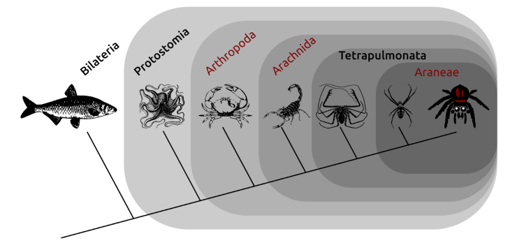 Figure 3 — An evolutionary tree (cladogram) showing a series of nested clades to which jumping spiders (far right) belong. These include the spiders (Araneae); a group of arachnids that includes spiders and whips spiders (the Tetrapulmonata); the arachnids; and the arthropods, which also includes crustaceans, millipedes and centipedes, and insects. The broader clade in which these all sit is the protostomes (which includes, for example, molluscs), and all of these clades are bilaterian animals. The clades that are also Linnaean ranks are shown in normal red type, whereas those that are unranked are shown in bold black type.